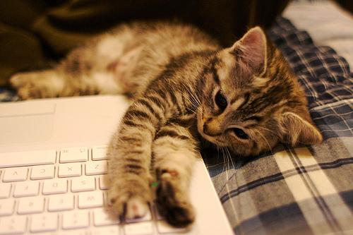 フリー画像| 動物写真| 哺乳類| ネコ科| 猫/ネコ| 子猫| パソコン/PC|