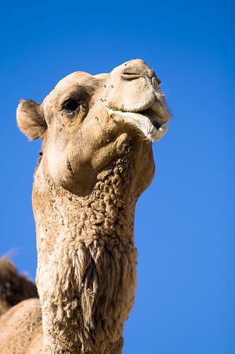 フリー画像  動物写真  哺乳類  ラクダ 