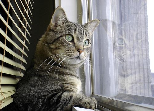 フリー画像| 動物写真| 哺乳類| ネコ科| 猫/ネコ| 窓辺の風景| サバトラ|