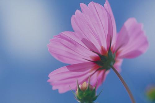 フリー画像| 花/フラワー| コスモス| ピンク/花|