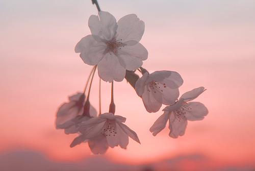 フリー画像| 花/フラワー| 桜/サクラ| 桃色/ピンク| ピンク/花|