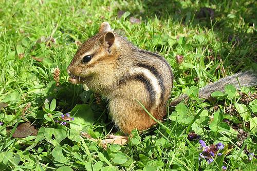 フリー画像| 動物写真| 哺乳類| リス科| 小動物| リス| シマリス|