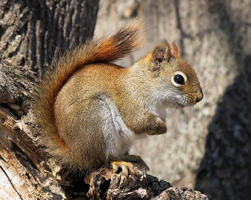 フリー画像| 動物写真| 哺乳類| 小動物| リス| リス科|
