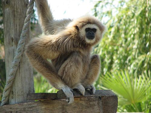 フリー画像| 動物写真| 哺乳類| 猿/サル| シロテナガザル|