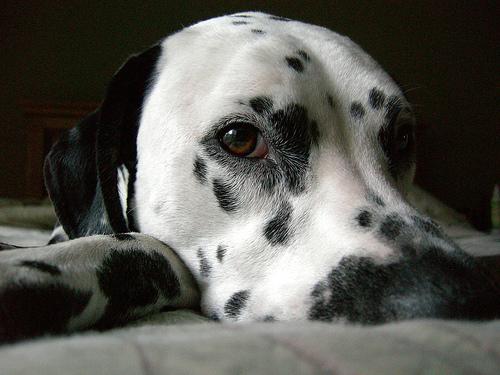 フリー画像| 動物写真| 哺乳類| イヌ科| 犬/イヌ| ダルメシアン|