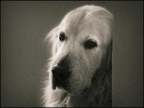 フリー画像| 動物写真| 哺乳類| イヌ科| 犬/イヌ| ゴールデン・レトリバー|