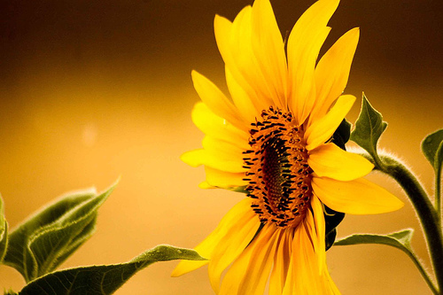 フリー画像| 花/フラワー| 向日葵/ヒマワリ| 黄色/イエロー| イエロー/花|