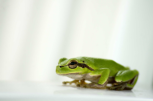 フリー画像| 動物写真| 両生類| 蛙/カエル| アマガエル|