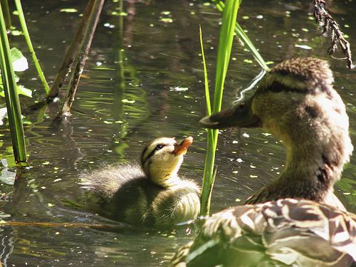 フリー画像| 動物写真| 鳥類| 鴨/カモ| 親子/家族| 雛/ヒナ|