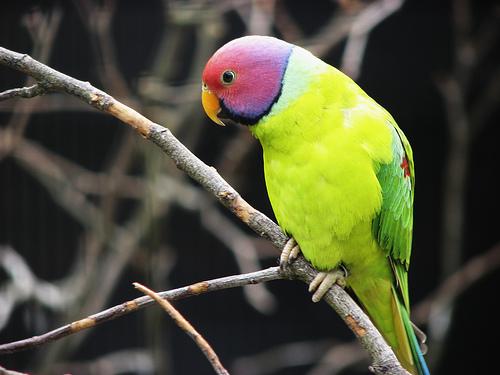 フリー画像| 動物写真| 鳥類| インコ科| コセイインコ|