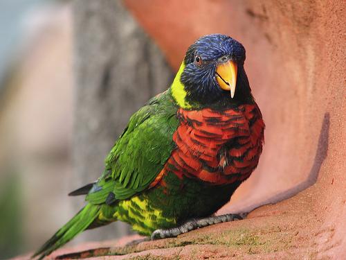 フリー画像| 動物写真| 鳥類| インコ科| ゴシキセイガイインコ |