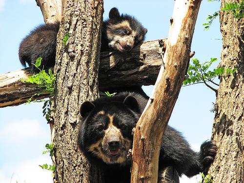 フリー画像| 動物写真| 哺乳類| 熊/クマ| メガネグマ|