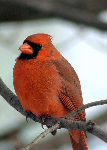 フリー画像| 動物写真| 鳥類| 野鳥| ショウジョウコウカンチョウ|