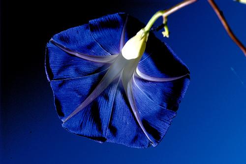 フリー画像| 花/フラワー| 朝顔/アサガオ| 青色/ブルー| ブルー/花|