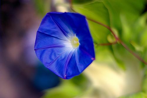 フリー画像| 花/フラワー| 朝顔/アサガオ| ブルー/花|
