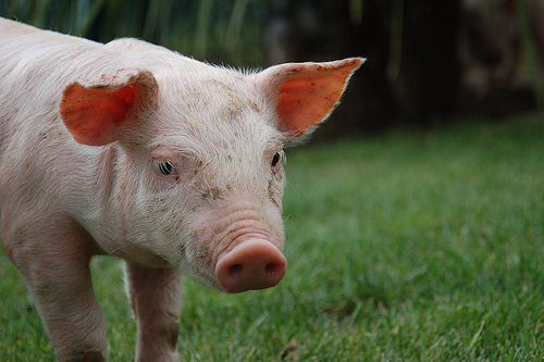 フリー画像| 動物写真| 哺乳類| 豚/ブタ| 子豚|