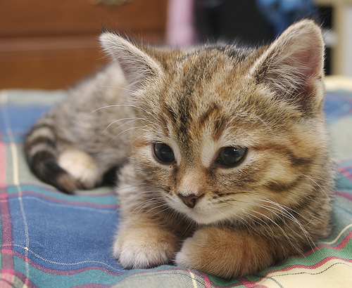 フリー画像| 動物写真| 哺乳類| ネコ科| 猫/ネコ| 子猫| キジトラ|