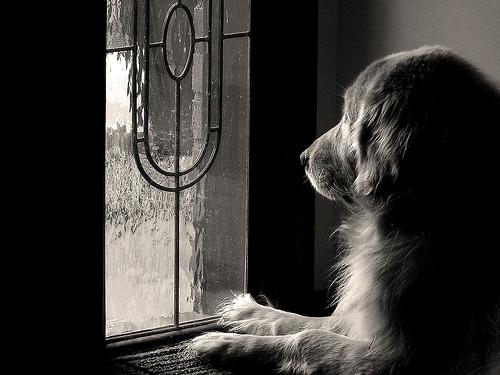 フリー画像| 動物写真| 哺乳類| イヌ科| 犬/イヌ| ゴールデン・レトリバー| 窓辺の風景| 覗く/見る| モノクロ写真|