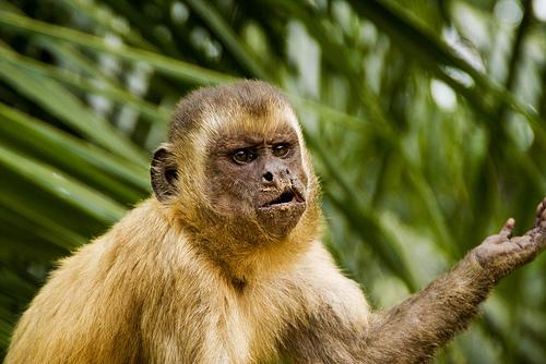 フリー画像| 動物写真| 哺乳類| 猿/サル| 催促する|