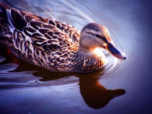 フリー画像| 動物写真| 鳥類| 野鳥| 鴨/カモ| 雌/メス|