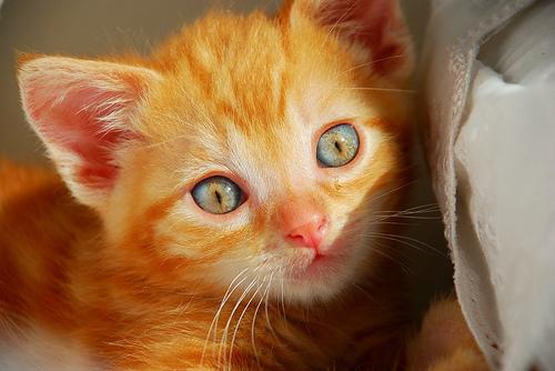 フリー画像| 動物写真| 哺乳類| ネコ科| 猫/ネコ| 子猫| チャトラ|