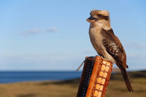 フリー画像| 動物写真| 鳥類| 野鳥| ワライカワセミ| カワセミ |