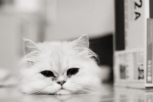 フリー画像| 動物写真| 哺乳類| ネコ科| 猫/ネコ| モノクロ写真|