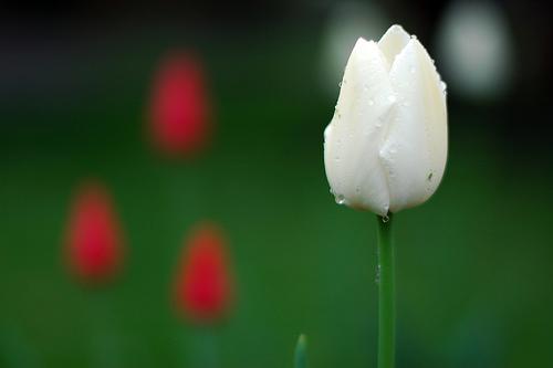 フリー画像| 花/フラワー| チューリップ| 雫/水滴| ホワイト/花|