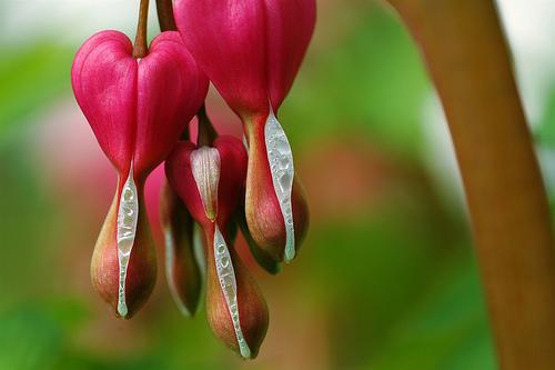 フリー画像| 花/フラワー| ケマンソウ/タイツリソウ| ハート| ピンク/花|
