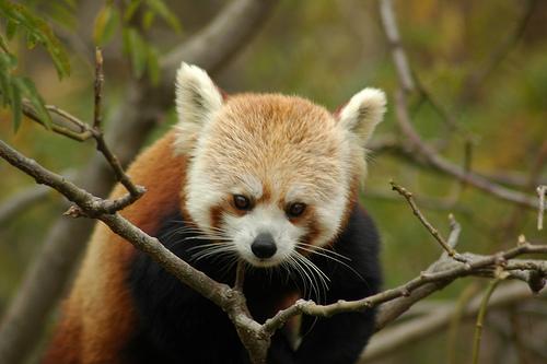 フリー画像| 動物写真| 哺乳類| レッサーパンダ|