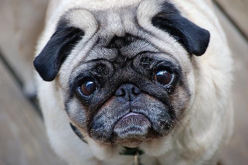 フリー画像| 動物写真| 哺乳類| イヌ科| 犬/イヌ| パグ|