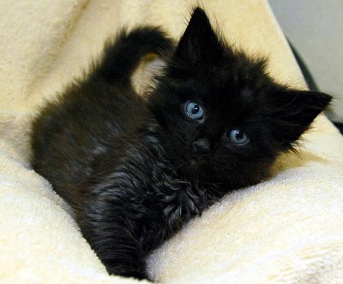 フリー画像| 動物写真| 哺乳類| ネコ科| 猫/ネコ| 子猫| 黒猫|