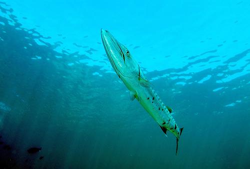フリー画像| 動物写真| 魚類| カマス| オニカマス| 青色/ブルー|