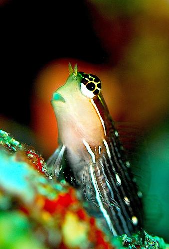 フリー画像| 動物写真| 魚類| カエルウオ|