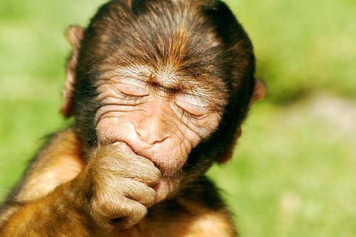 フリー画像| 動物写真| 哺乳類| 猿/サル| 子猿| バーバリーマカク|