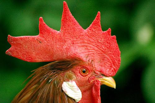 Gallus Chicken