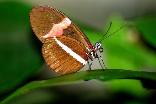 フリー画像| 節足動物| 昆虫| 蝶/チョウ|
