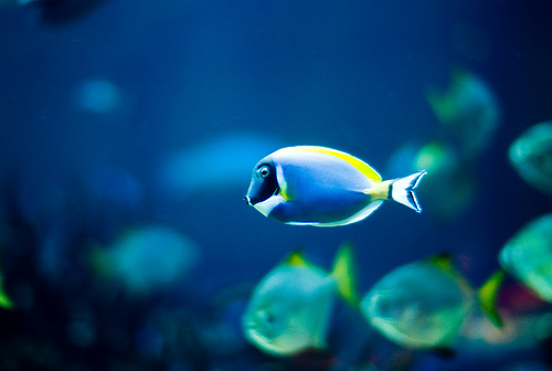 フリー画像|動物写真|魚類|パウダーブルータン青色/ブルー|