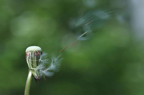 フリー画像| 植物| たんぽぽ/タンポポ| 綿毛| 緑色/グリーン|