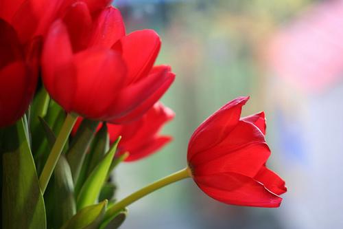 フリー画像| 花/フラワー| チューリップ| レッド/花|