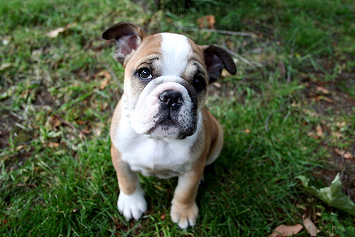 フリー画像| 動物写真| 哺乳類| イヌ科| 犬/イヌ| 子犬| ブルドッグ|