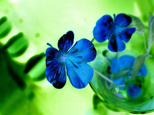 フリー画像| 花/フラワー| ラナンキュラス| ブルー/花|