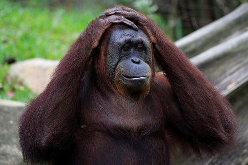 フリー画像| 動物写真| 哺乳類| 猿/サル| オランウータン| 頭を抱える|