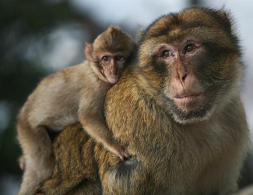 フリー画像|動物写真|哺乳類|猿/サル|親子/家族|子猿|