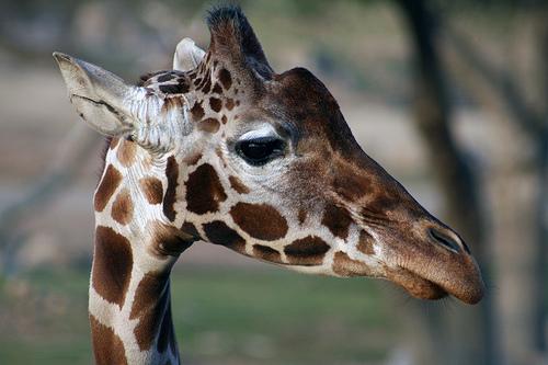 フリー画像| 動物写真| 哺乳類| キリン|