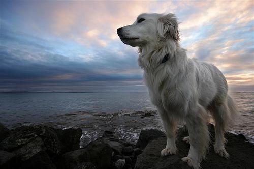 フリー画像| 動物写真| 哺乳類| イヌ科| 犬/イヌ| ゴールデン・レトリバー| 海岸の風景|