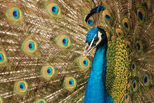 フリー画像| 動物写真| 鳥類| 孔雀/クジャク| インドクジャク|