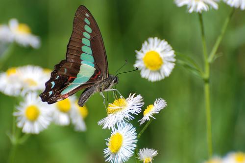 フリー画像| 節足動物| 昆虫| 蝶/チョウ| アオスジアゲハ| 花/フラワー|