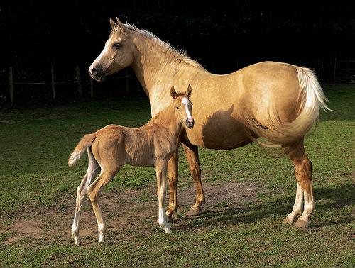 フリー画像| 動物写真| 哺乳類| 馬/ウマ| 親子/家族|