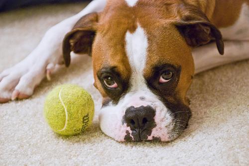 フリー画像| 動物写真| 哺乳類| イヌ科| 犬/イヌ| ボクサー犬|
